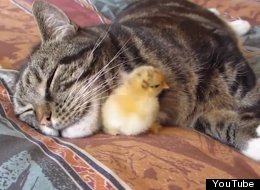 Hey Cat, A Baby Chick Is Sleeping Under Your Chin. How Do You Feel About It?