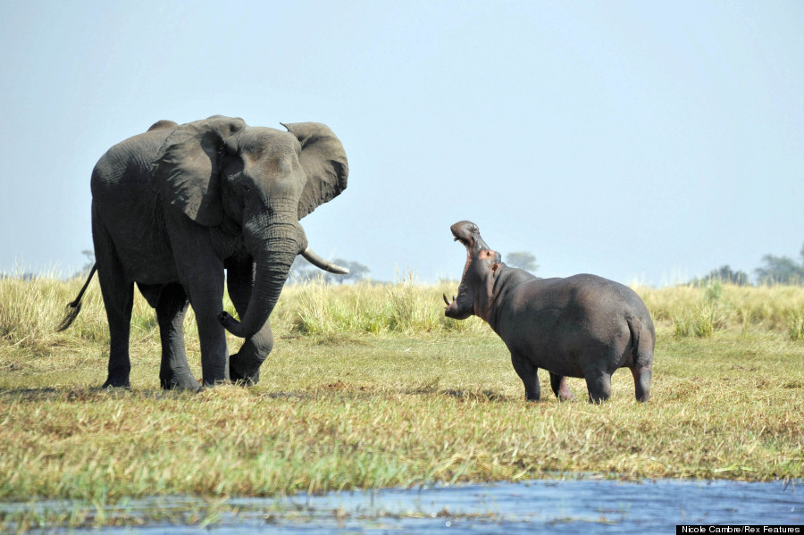 hippo v elephant