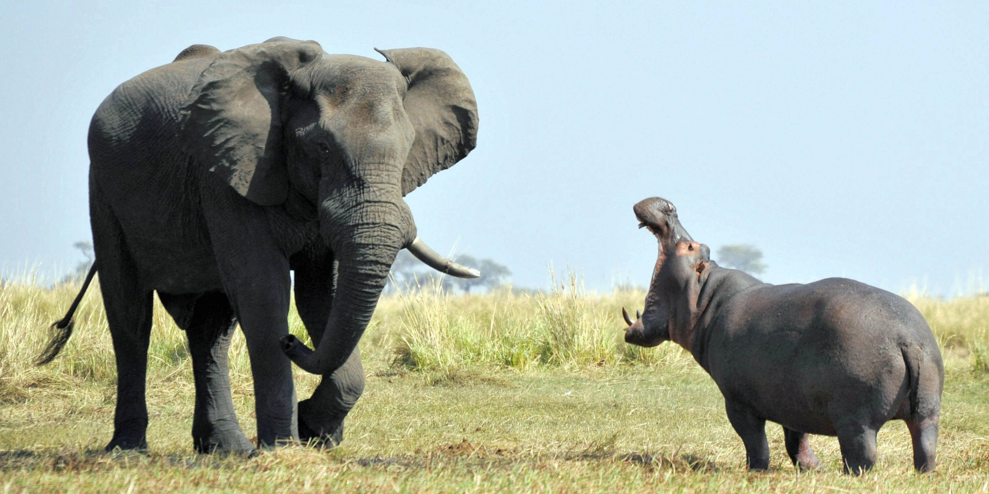 Elephant And Hippo Disagree Face Off At Botswana S Chobe
