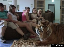 Family Lives With Ridiculous Amount Of Tigers - Yes, More Than Zero