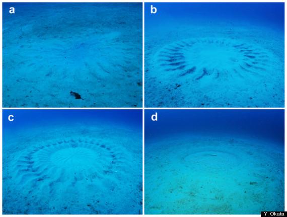 puffer fish circles