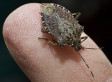 Stink Bugs On The Rise In The U.S.