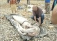 Giant Squid Washes Ashore In Cantabria, Spain (VIDEO)