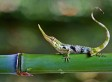 Pinocchio Lizard Rediscovered In Ecuador After Being Thought Extinct For 50 Years