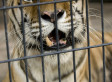 Tiger Attack At Oklahoma Zoo Leaves Worker Injured After She Sticks Her Arm Inside Cage