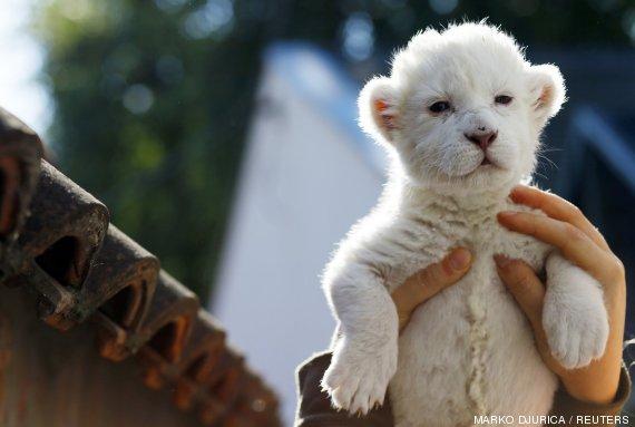 león blanco cria