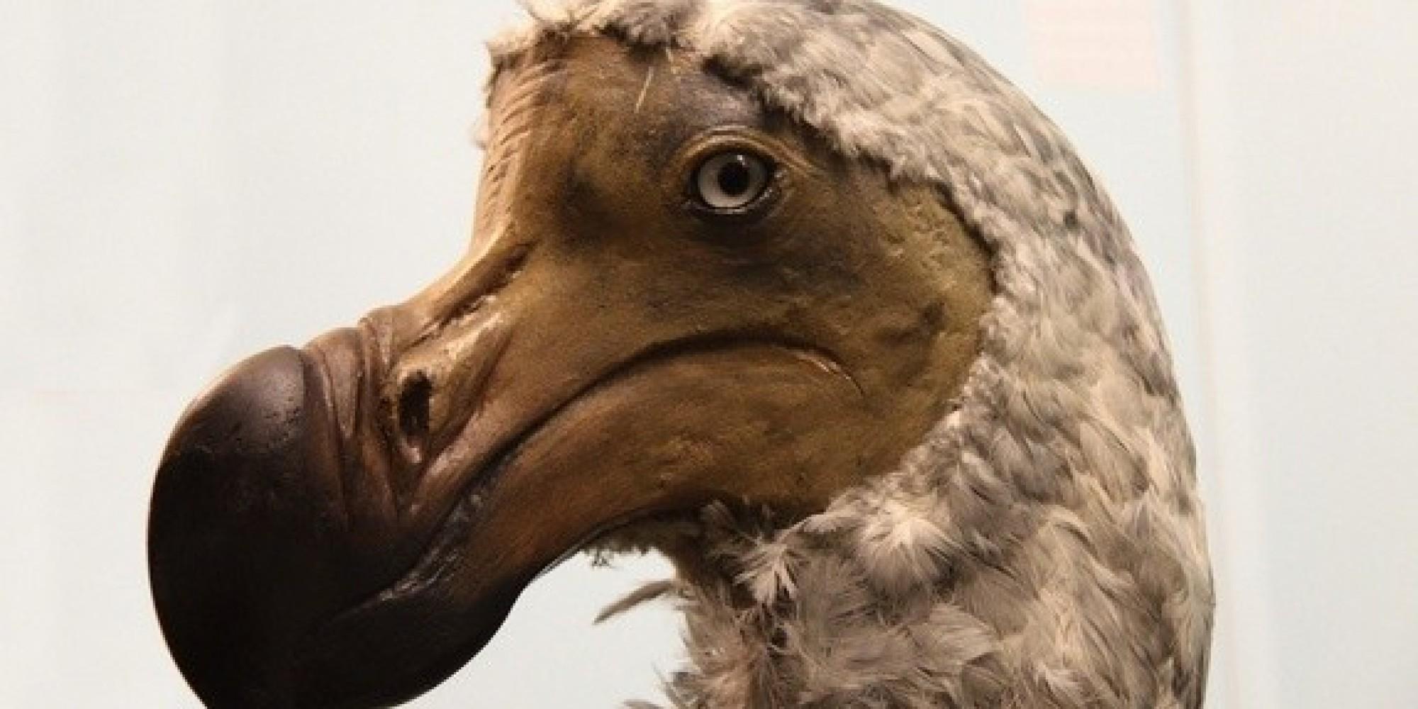 DODO-EXTINCTION-LATER-facebook jpgDodo Bird Sightings