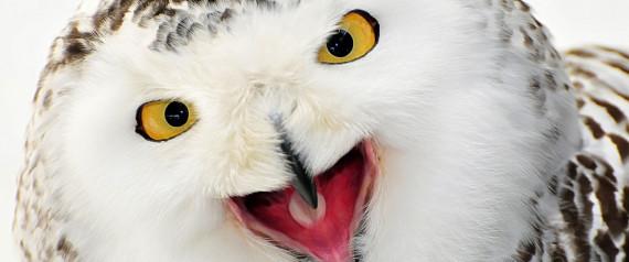 FROZEN OWL