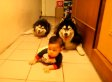 Dogs Imitate Baby's Crawl, Don't Realize They're Dogs