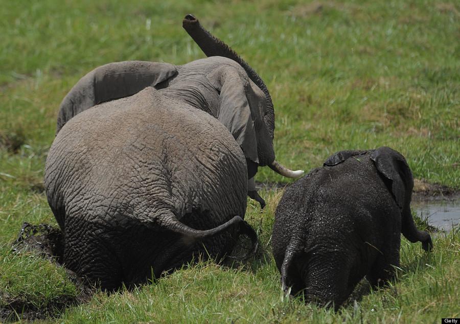 elephant12