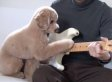Mocha The Toy Poodle Plays Guitar With His Dad