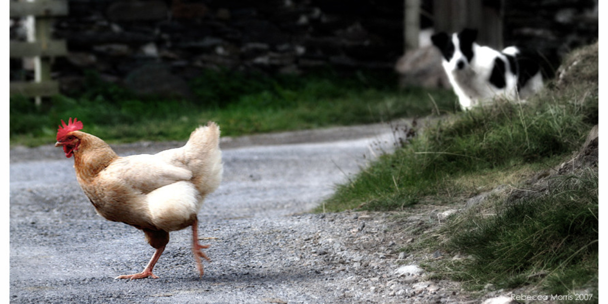 backyard hen opponents remind virginians that chicken killing dogs may