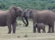 This Elephant Family Reunion Might Be Better Than Your Family Reunion (VIDEO)