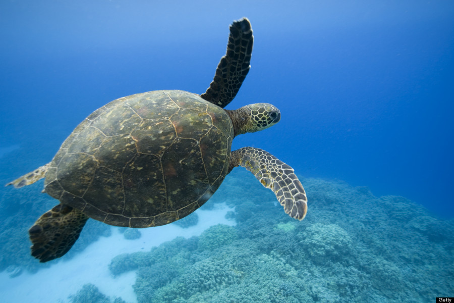 green sea turtle essay