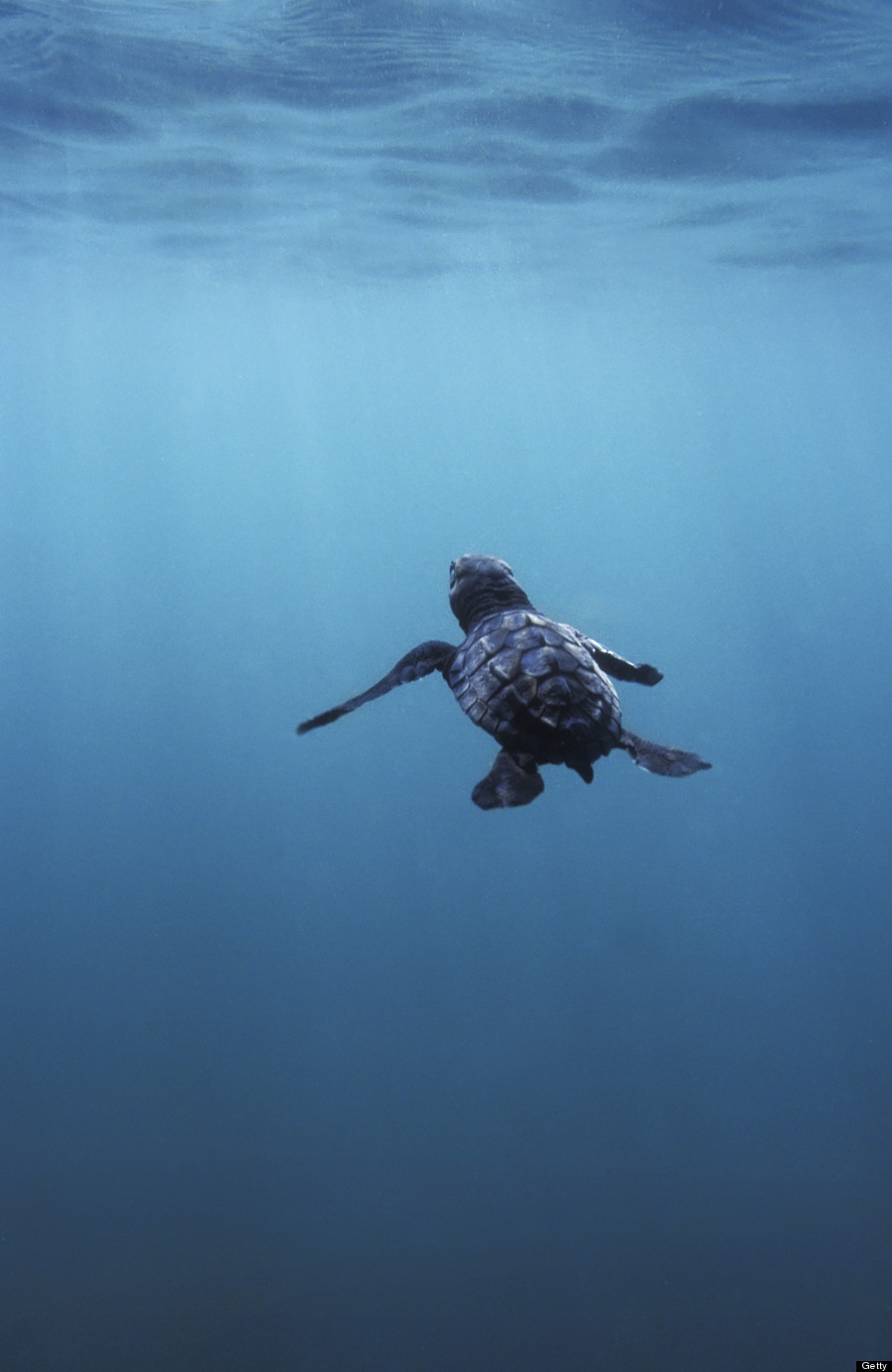 'Witnessing Majesty' With Dopey, Lovesick Sea Turtles ...
