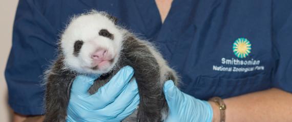 the National Zoo's baby panda