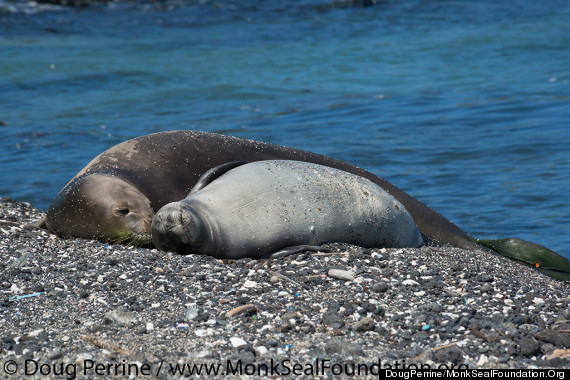 monk seal mother