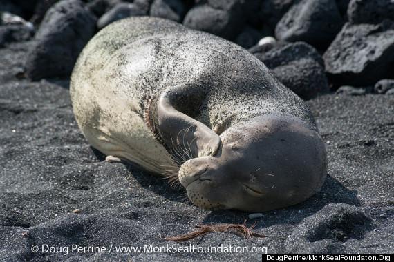 monk seal sleeping