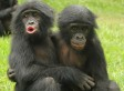 Young Apes Show Empathy & Comfort Each Other Like Human Kids, New Study Suggests