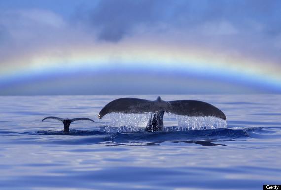 maui whale