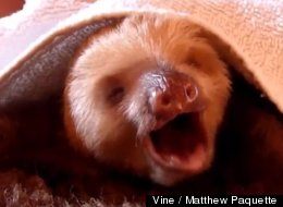 Stop What You're Doing And Watch This Sloth Sing Whitney Houston