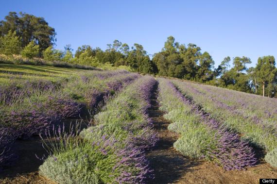 maui lavendar