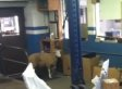 Sheep Bound For Slaughter Escapes, Careens Into Collision Shop (VIDEO)