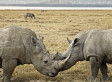 Kenya Will Outfit Rhinos With Microchips In Attempt To Curb Poaching