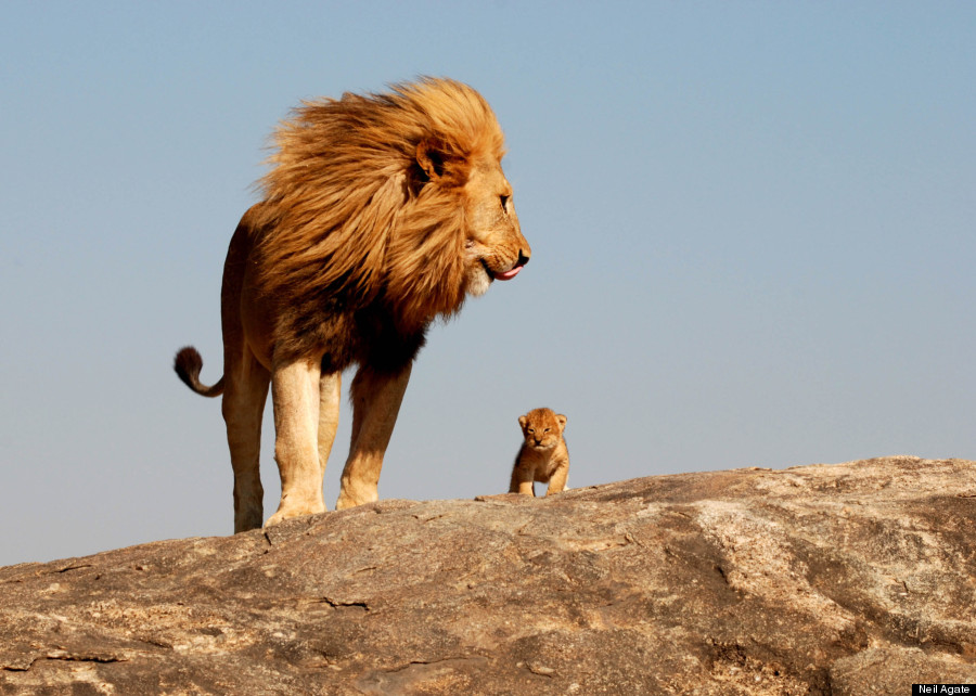 This Is The Lion Kings Simba And Mufasa In Real Life