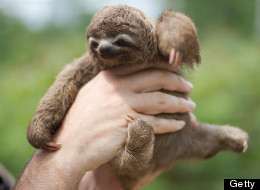 Talking Baby Sloth Says Happy International Sloth Day (Video)