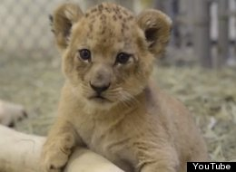 One More Lion Cub And Your Heart Might Explode