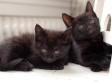 Black Cats Less Than Half As Likely To Be Adopted As Gray Cats (INFOGRAPHIC)