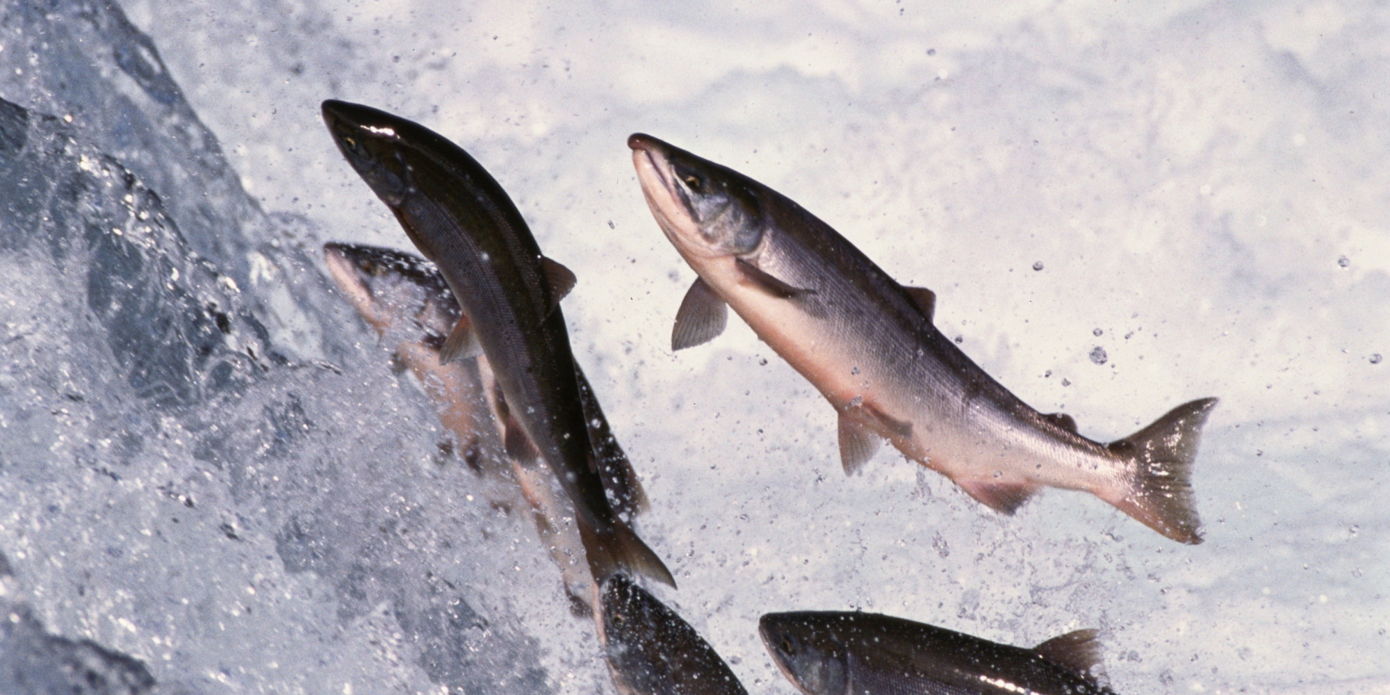 One year after cohen report salmon face an upstream for Salmon fish images