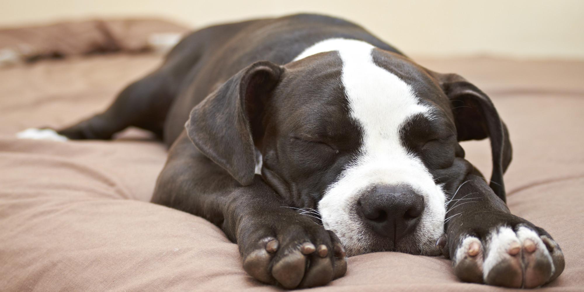 6 Reasons Why Pit Bulls Make Awesome Pets  PitBulls