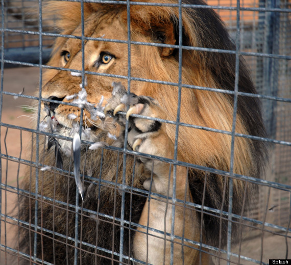 File:Lion in Cage.JPG - Wikimedia Commons