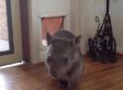 Is That A Baby Wombat Intruder? Nope, It's Just Ruby Using The Cat Door! (VIDEO)