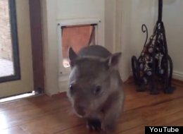 Cute Alert! This Wombat Knows How To Use A Cat Door