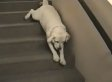 Lazy Labrador Goes Stair Surfing Because It's Friday (VIDEO)