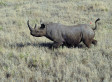 Texas Group To Auction Hunting Permit For Endangered Black Rhino