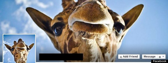 facebook giraffe