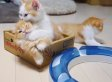 These 3 Munchkin Kittens Playing In A Box Are Motivating Us On A Monday (VIDEO)