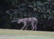 'Chupacabra' In Mississippi Town Reportedly A Coyote With Mange