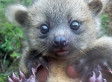 Baby Olinguito Photo Redefines 'Cute' With Half House Cat, Half Teddy Bear Adorableness