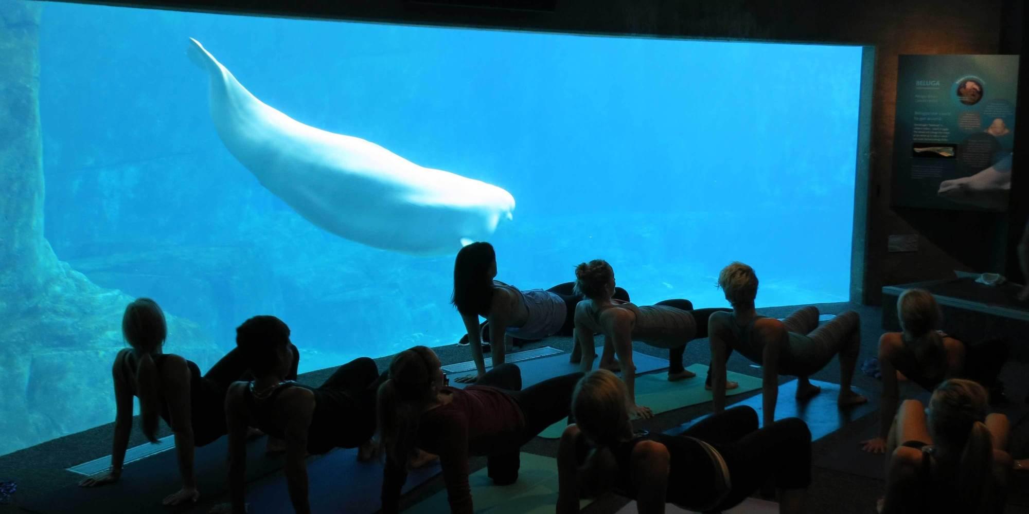 Yoga With Belugas At Vancouver Aquarium Draws Protests Video