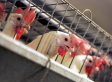 USDA Plan To Speed Up Poultry-Processing Lines Could Increase Risk Of Bird Abuse - The Washington Post