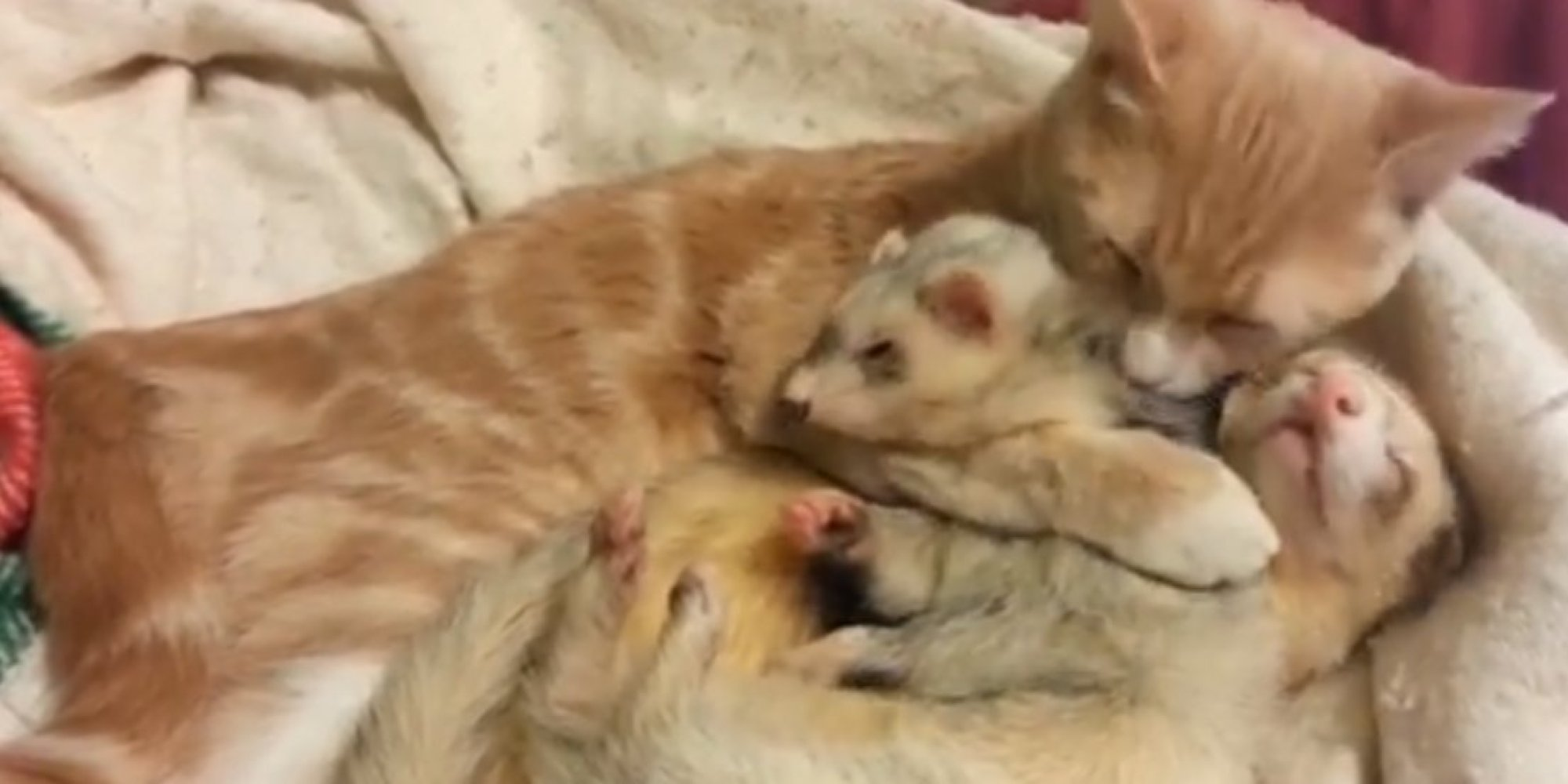 This Cat Bathing And Cuddling Two Ferrets Is Way Too Much