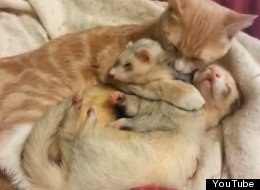 Cat And Ferrets Cuddling Are Just Too Much To Handle