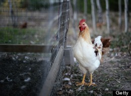 Why Are We Laughing at Things That Make Chickens Suffer?