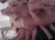 Walmart Pork Supplier Allegedly Caught Abusing Pigs In Graphic Undercover Video