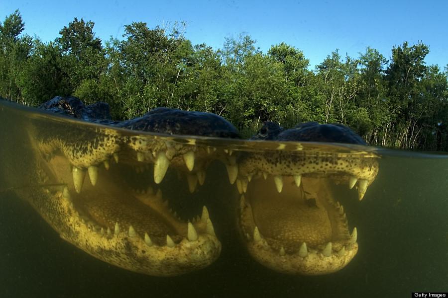 abernethy alligators